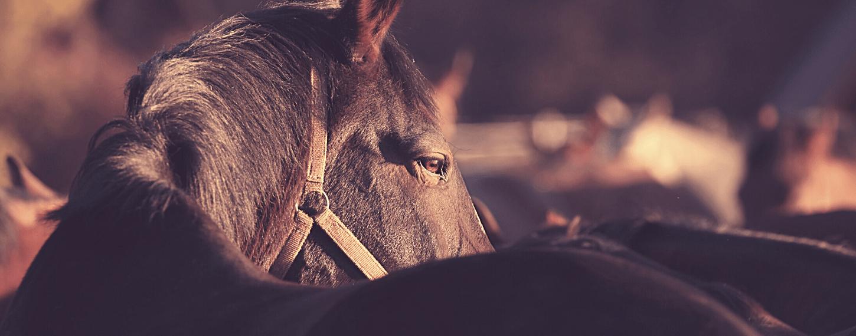 Aanhoudende hoest bij paarden