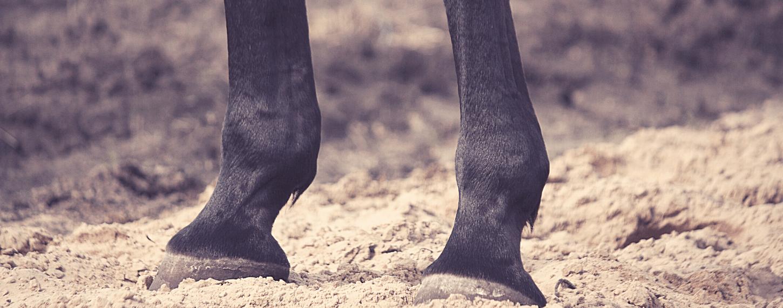 Stalbenen bij (oudere) paarden