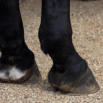Zwellingen bij paarden