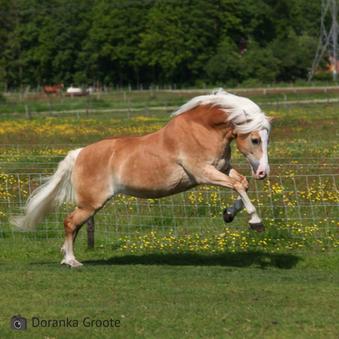 Stijve en stramme spieren bij paarden