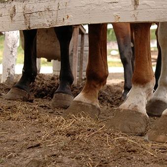 Zachte en harde zwellingen bij paarden