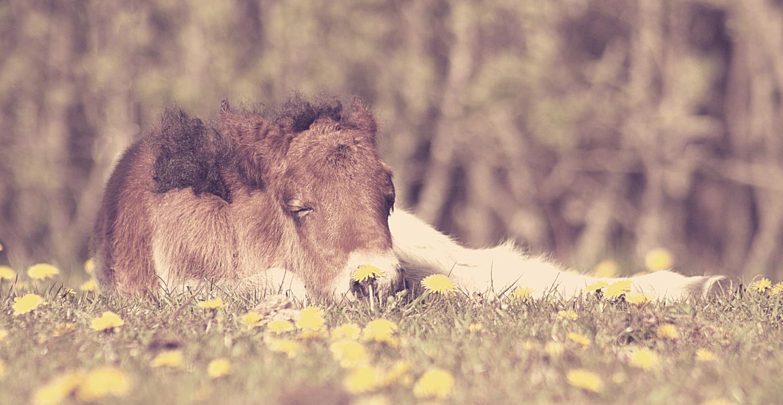 Slaapgewoontes van paarden