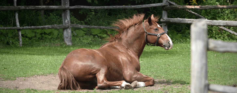 Paard liggen met koliek